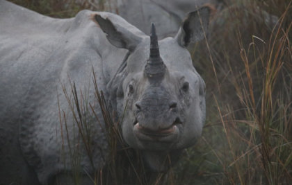A headshot of a rhino