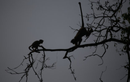 One of the most endangered primate species of India